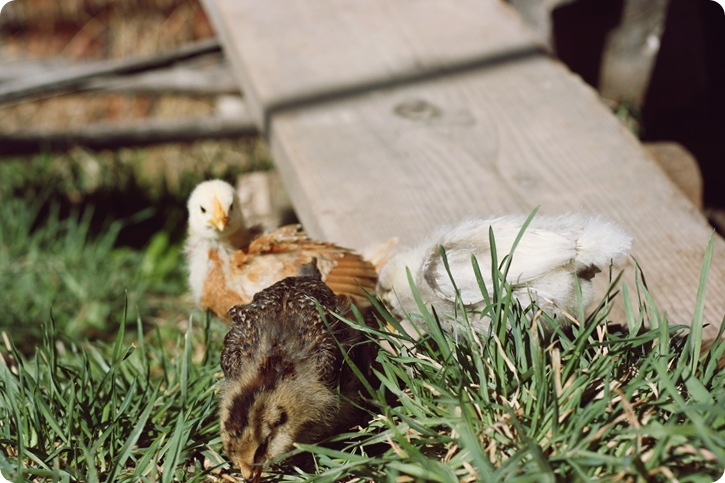 chicks_5
